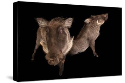 Two 8-Month-Old Common Warthogs, Phacochoerus Africanus, at the Columbus Zoo.-Joel Sartore-Stretched Canvas Print
