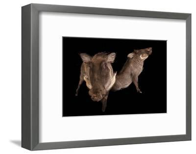 Two 8-Month-Old Common Warthogs, Phacochoerus Africanus, at the Columbus Zoo.-Joel Sartore-Framed Photographic Print