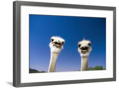 Bouquet, Struthio Camelus, Portrait, Animal-Portrait, Wildlife-Frank Lukasseck-Framed Photographic Print