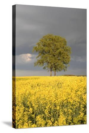 Rape Field, Tree, Storm Clouds-Nikky Maier-Stretched Canvas Print