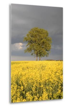 Rape Field, Tree, Storm Clouds-Nikky Maier-Metal Print