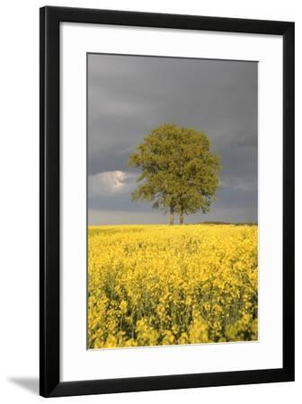 Rape Field, Tree, Storm Clouds-Nikky Maier-Framed Photographic Print