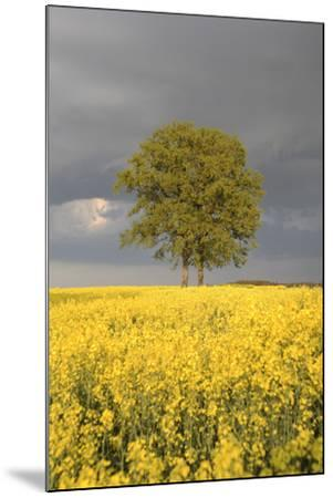 Rape Field, Tree, Storm Clouds-Nikky Maier-Mounted Photographic Print