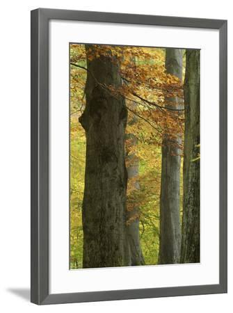 Copper Beeches, Fagus Sylvatica, Autumn, Germany, Hessen, Reinhardswald, Primeval Forest Sababurg-Andreas Keil-Framed Photographic Print
