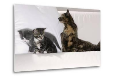 Sits Couch, Cats, Young, Curiously, Dam, Lying, Alertly, Animals, Mammals, Pets-Nikky-Metal Print