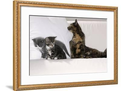 Sits Couch, Cats, Young, Curiously, Dam, Lying, Alertly, Animals, Mammals, Pets-Nikky-Framed Photographic Print
