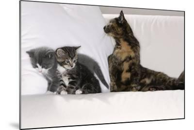 Sits Couch, Cats, Young, Curiously, Dam, Lying, Alertly, Animals, Mammals, Pets-Nikky-Mounted Photographic Print