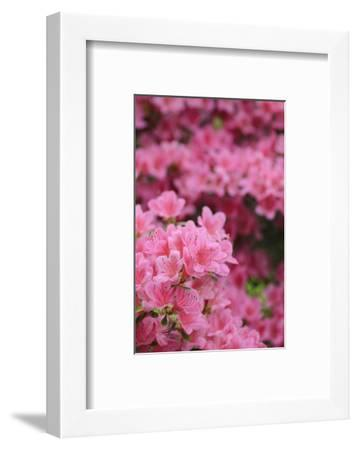 Blossoming Rhododendron, Rhododendron Norbitonense Aureum, Medium Close-Up-Andreas Keil-Framed Photographic Print
