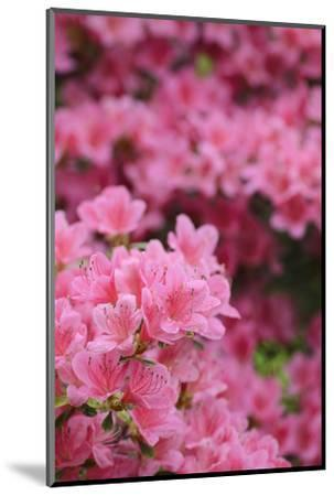Blossoming Rhododendron, Rhododendron Norbitonense Aureum, Medium Close-Up-Andreas Keil-Mounted Photographic Print