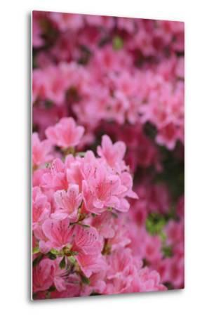 Blossoming Rhododendron, Rhododendron Norbitonense Aureum, Medium Close-Up-Andreas Keil-Metal Print