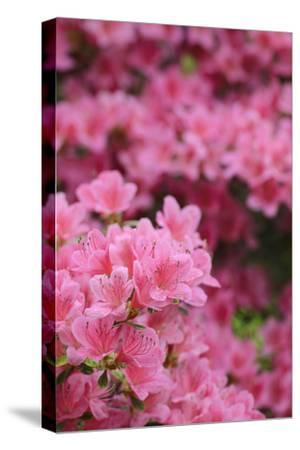 Blossoming Rhododendron, Rhododendron Norbitonense Aureum, Medium Close-Up-Andreas Keil-Stretched Canvas Print