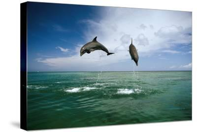 Sea, Ordinary Dolphins, Delphinus Delphis, Jump, Series-Frank Lukasseck-Stretched Canvas Print