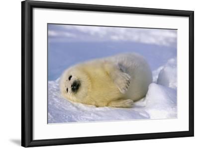 Canada, Iles De La Madeleine Saddle-Seal Pagophilus Groenlandicus Young Sleeps, Series-Frank Lukasseck-Framed Photographic Print