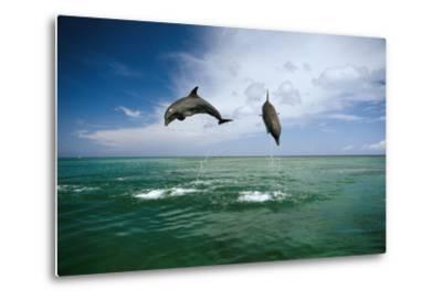 Sea, Ordinary Dolphins, Delphinus Delphis, Jump, Series-Frank Lukasseck-Metal Print