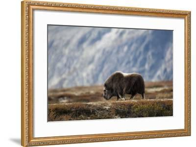 Musk Ox, Ovibos Moschatus, Norway, Dovrefjell, Autumn, Cow-Ronald Wittek-Framed Photographic Print