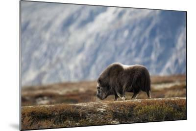 Musk Ox, Ovibos Moschatus, Norway, Dovrefjell, Autumn, Cow-Ronald Wittek-Mounted Photographic Print