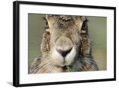 Field Hare, Lepus Europaeus, Portrait, Cut, Mammal, Animal, Hare, Face, Fur, Eat-Ronald Wittek-Framed Photographic Print