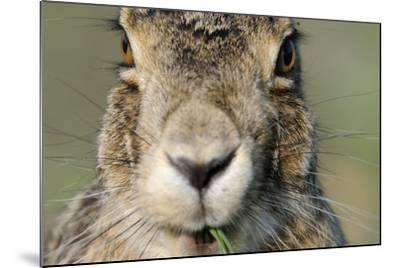Field Hare, Lepus Europaeus, Portrait, Cut, Mammal, Animal, Hare, Face, Fur, Eat-Ronald Wittek-Mounted Photographic Print