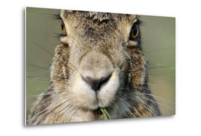 Field Hare, Lepus Europaeus, Portrait, Cut, Mammal, Animal, Hare, Face, Fur, Eat-Ronald Wittek-Metal Print
