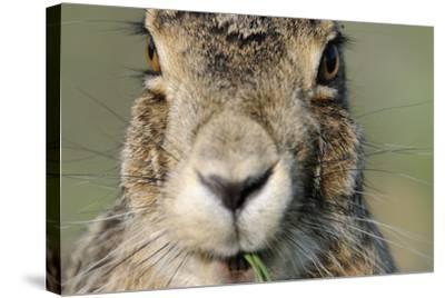 Field Hare, Lepus Europaeus, Portrait, Cut, Mammal, Animal, Hare, Face, Fur, Eat-Ronald Wittek-Stretched Canvas Print