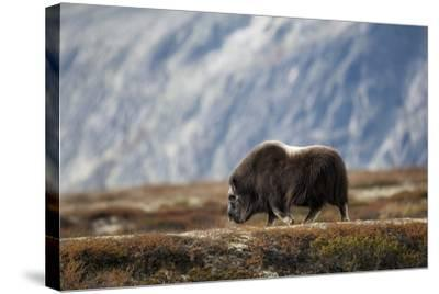 Musk Ox, Ovibos Moschatus, Norway, Dovrefjell, Autumn, Cow-Ronald Wittek-Stretched Canvas Print