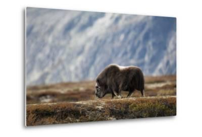 Musk Ox, Ovibos Moschatus, Norway, Dovrefjell, Autumn, Cow-Ronald Wittek-Metal Print