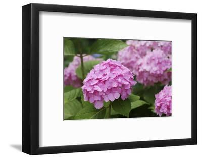 Hydrangea-Sweet Ink-Framed Photographic Print