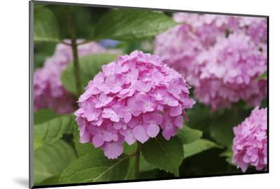 Hydrangea-Sweet Ink-Mounted Photographic Print