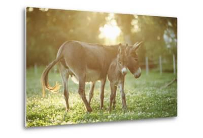 Donkey, Equus Asinus Asinus, Mother and Foal, Meadow, Is Lying Laterally-David & Micha Sheldon-Metal Print