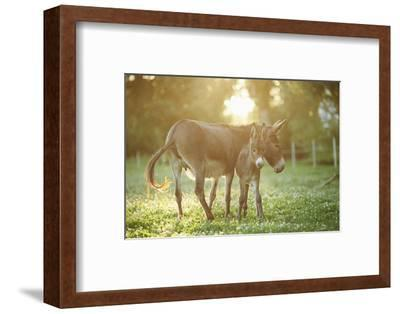 Donkey, Equus Asinus Asinus, Mother and Foal, Meadow, Is Lying Laterally-David & Micha Sheldon-Framed Photographic Print