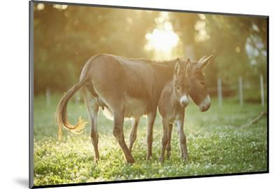 Donkey, Equus Asinus Asinus, Mother and Foal, Meadow, Is Lying Laterally-David & Micha Sheldon-Mounted Photographic Print