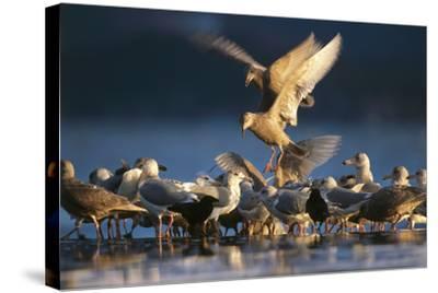 Ice-Seagulls, Larus Hyperboreus, Riversides, Dusk, Usa-Frank Lukasseck-Stretched Canvas Print