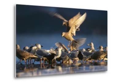 Ice-Seagulls, Larus Hyperboreus, Riversides, Dusk, Usa-Frank Lukasseck-Metal Print