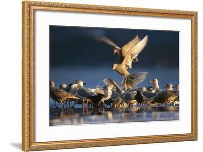 Ice-Seagulls, Larus Hyperboreus, Riversides, Dusk, Usa-Frank Lukasseck-Framed Photographic Print