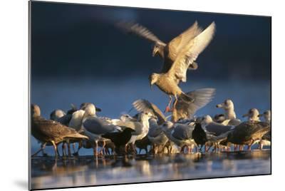 Ice-Seagulls, Larus Hyperboreus, Riversides, Dusk, Usa-Frank Lukasseck-Mounted Photographic Print