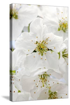 Cherry Tree, Branch, Detail, Blooms, Tree-Herbert Kehrer-Stretched Canvas Print