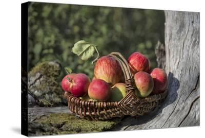 Apples, Basket, Exterior, Old Tree Trunk-Andrea Haase-Stretched Canvas Print