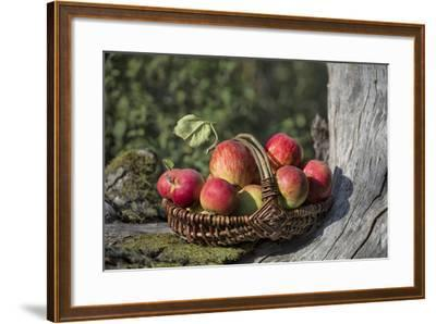 Apples, Basket, Exterior, Old Tree Trunk-Andrea Haase-Framed Photographic Print