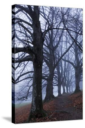 Trees, Black Poplars, Late Autumn-Herbert Kehrer-Stretched Canvas Print