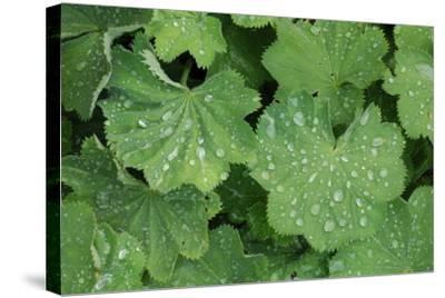 Women's Casing, Leaves, Drops of Water-Herbert Kehrer-Stretched Canvas Print