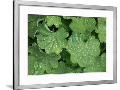 Women's Casing, Leaves, Drops of Water-Herbert Kehrer-Framed Photographic Print
