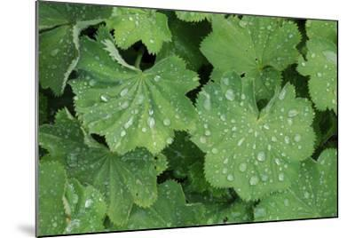 Women's Casing, Leaves, Drops of Water-Herbert Kehrer-Mounted Photographic Print