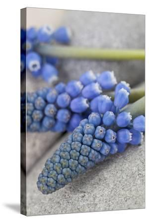 Muscari, Grape Hyacinth, Blossoms, Close-Up-Andrea Haase-Stretched Canvas Print