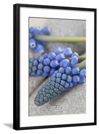 Muscari, Grape Hyacinth, Blossoms, Close-Up-Andrea Haase-Framed Photographic Print