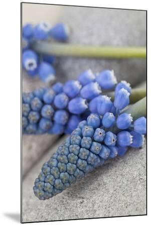 Muscari, Grape Hyacinth, Blossoms, Close-Up-Andrea Haase-Mounted Photographic Print
