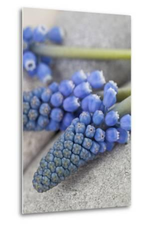 Muscari, Grape Hyacinth, Blossoms, Close-Up-Andrea Haase-Metal Print