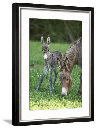 Domestic Ass, Equus Asinus Asinus, Mare, Foal, Meadow, Head-On, Is Standing, Looking into Camera-David & Micha Sheldon-Framed Photographic Print