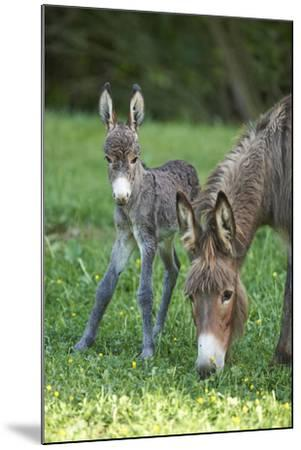 Domestic Ass, Equus Asinus Asinus, Mare, Foal, Meadow, Head-On, Is Standing, Looking into Camera-David & Micha Sheldon-Mounted Photographic Print