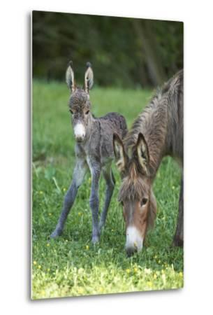 Domestic Ass, Equus Asinus Asinus, Mare, Foal, Meadow, Head-On, Is Standing, Looking into Camera-David & Micha Sheldon-Metal Print