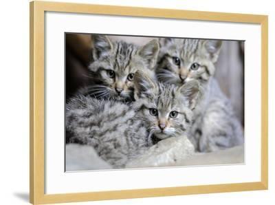 Wildcat, Felis Silvestris, Young Animals-Ronald Wittek-Framed Photographic Print